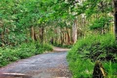627-Forêt d'eucalyptus (2)